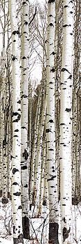 Brian Harig - Aspens In Winter Vertical Panorama - Colorado