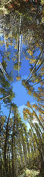 Aspens Looking Up by Jeff Schomay
