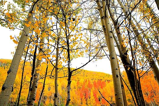 Aspens Of Colorado by Charlotte Schafer