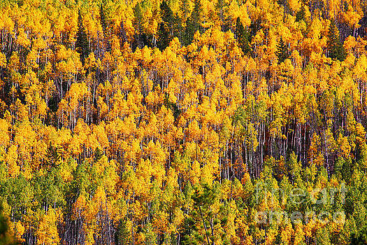 Aspens of the Unita Mountains by Marty Fancy