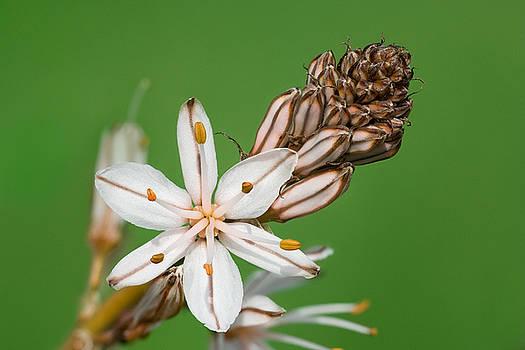 Yuri Peress - Asphodelus Microcarpus