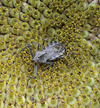 Assassin Bug on Sunflower Disk by Matt Cormons