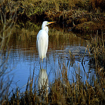 Assateague Island Great Egret Ardea alba by Bill Swartwout