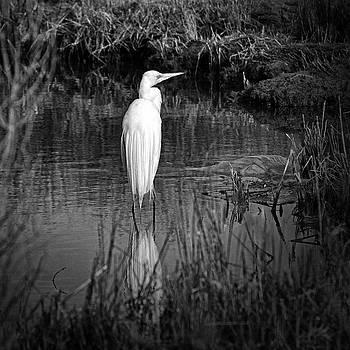 Bill Swartwout Fine Art Photography - Assateague Island Great Egret Ardea alba in Black and White