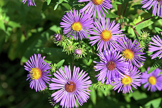 Valerie Kirkwood - Asters Galore