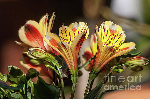 Leonardo Fanini - Astromelia flowers