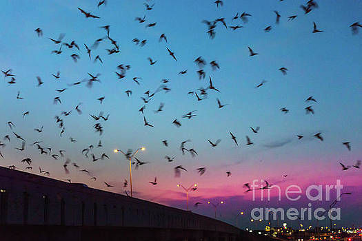 Herronstock Prints - At dusk the Round Rock bats fly out from the I-35 bridge at McNe