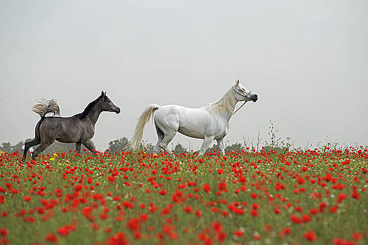 At the poppies' field... by Dubi Roman