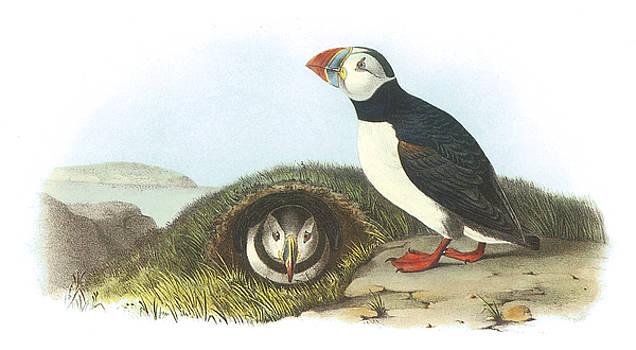 John James Audubon - Atlantic Puffin