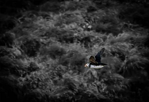 Atlantic Puffin Takes Flight by Ryan Tarrow