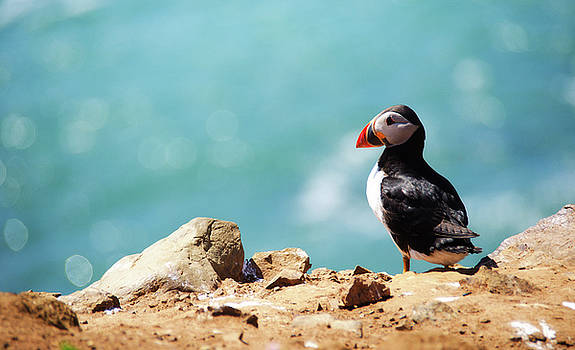 Atlantic Puffin by Xenmint Photography