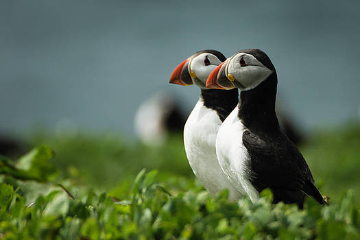 Atlantic Puffins by Andy Beattie Photography