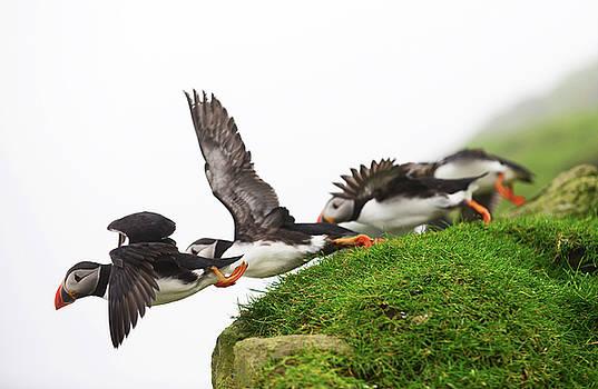 Atlantic Puffins take flight in Mykines island, Faroe Islands by Nano Calvo
