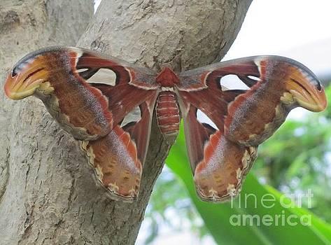 Atlas Butterfly by Jeepee Aero
