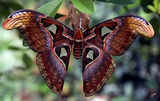 Atlas Moth saturniidae attacus by Patricia Whitaker