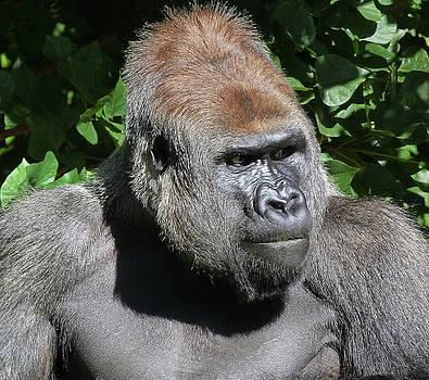 Attentive Gorilla by Margaret Saheed