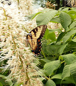Ault Park Butterfly by Barb Montanye Meseroll