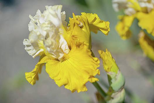 Aura Light. The Beauty of Irises by Jenny Rainbow