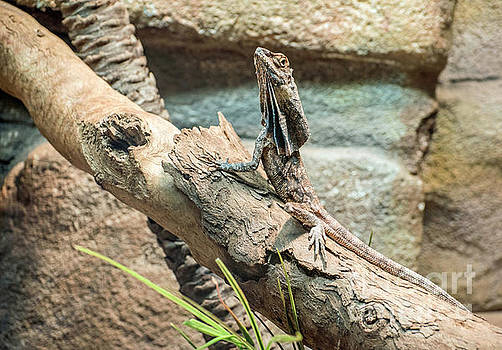 Aussie Lizard by Jim Chamberlain