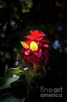 Australian Flower by Barbara Dudzinska