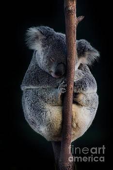 Australian Koala by Barbara Dudzinska