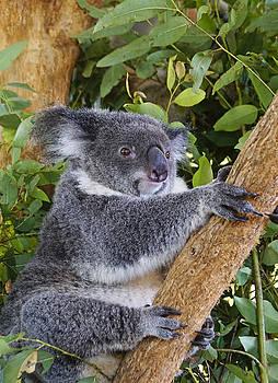 Dennis Cox - Australian Koala