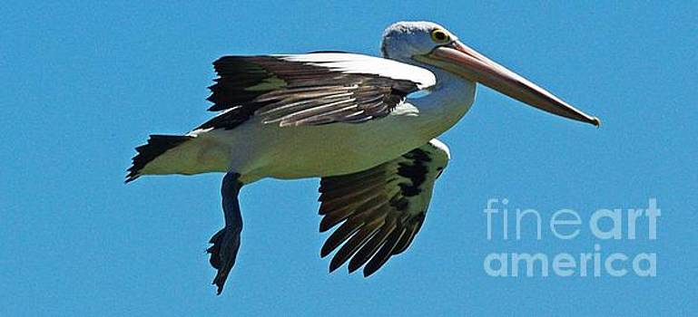 Australian pelican in Flight by Blair Stuart