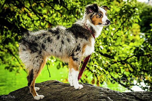 Julian Starks - Australian Sheep Dog #1