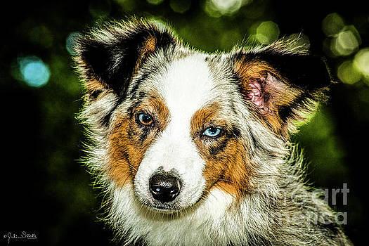 Julian Starks - Australian Sheep Dog #5