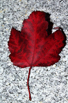 Autum Maple Leaf 1 by Robert Morin