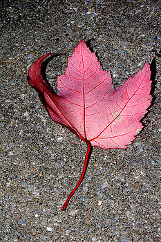 Autum Maple Leaf 2 by Robert Morin