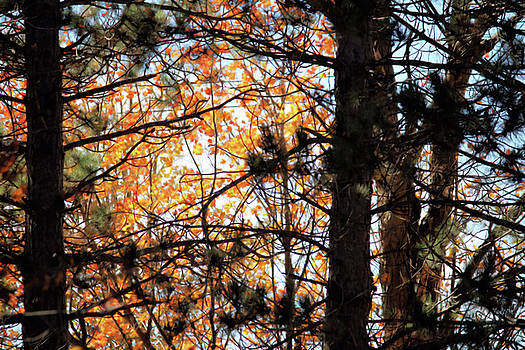 Autumn Among the Pines by Kristi Beers-Mason