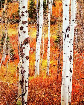 Autumn Aspens by David Millenheft