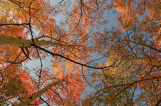 Autumn Aspens in the sky by Gaelyn Olmsted