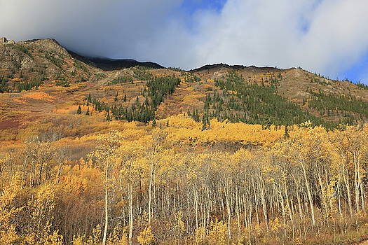 Autumn Aspens by Kimberly VanNostrand