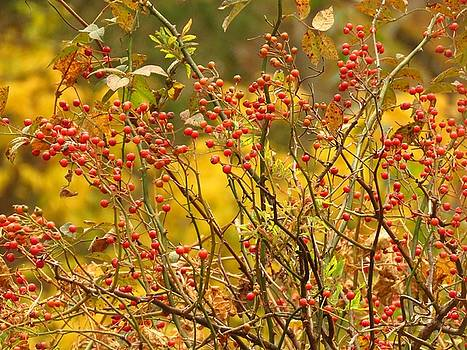 Autumn Berries  by Lori Frisch