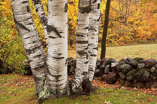 Autumn Birch by Eunice Gibb