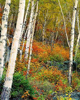 Autumn Birch by Frank Houck