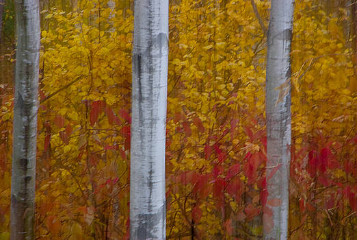Autumn Birch by Ian  Benninghaus