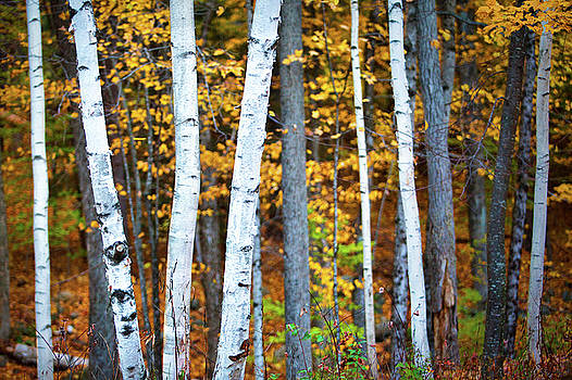Autumn Birches by Eric Gendron