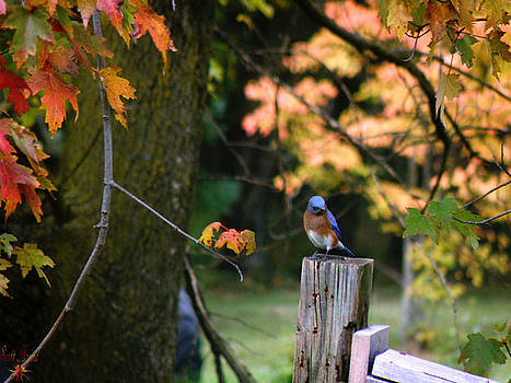 Scott Hovind - Autumn Blue Bird