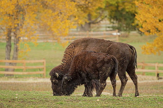 Autumn Buffaloes Cow and Calf by James BO Insogna