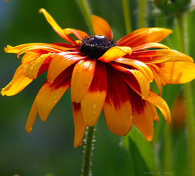 Sandra Huston - Autumn Colored Black Eyed Susan