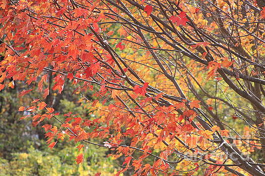 Autumn Colored Leaves by Robin Maria Pedrero