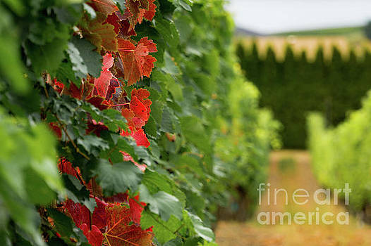 Autumn Comes to the Vineyard by Dave Matchett