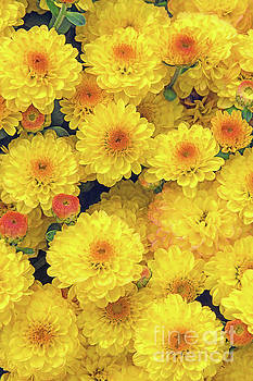 Regina Geoghan - Autumn Gold Chrysanthemums
