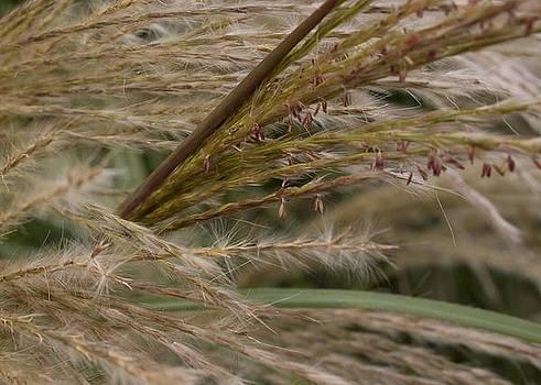 Autumn Grasses by Carla Neufeld