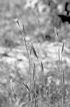 Robert Meyers-Lussier - Autumn Grasses