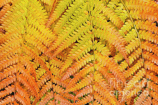 Autumn Hay-Scented Ferns by Alan L Graham