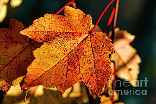 Doug Berry - Autumn Leaf 0528T